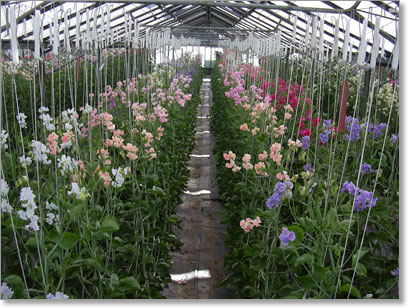 A selection of sweet pea plants in one of our glasshouses